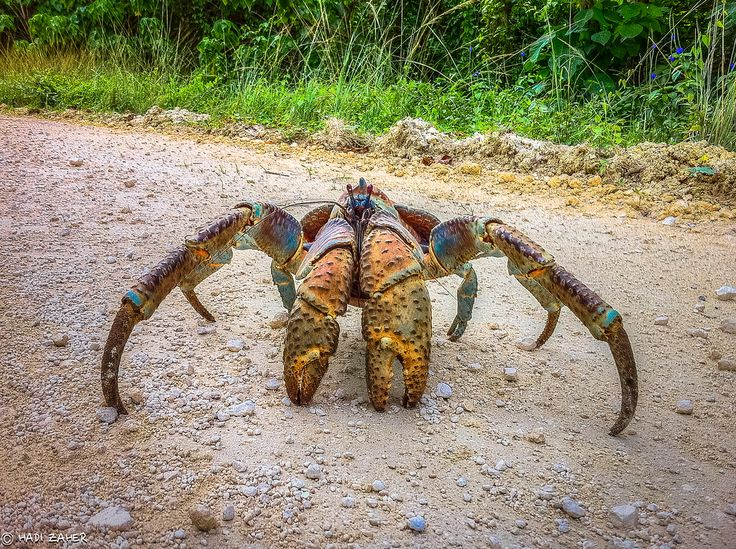 Coconut Crab, the Mother of Nopes. - Album on Imgur