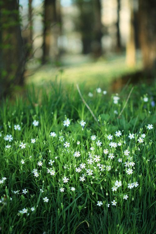 Forests, Wild Flower, White Flowers, Wildflowers, Nature, Green, Daisies, Gardens, Flower Fields