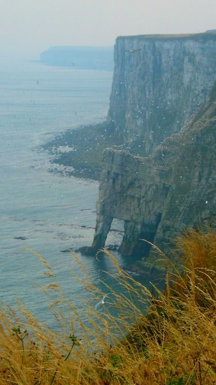 Bempton Cliffs, East Riding Of Yorkshire, England, UK