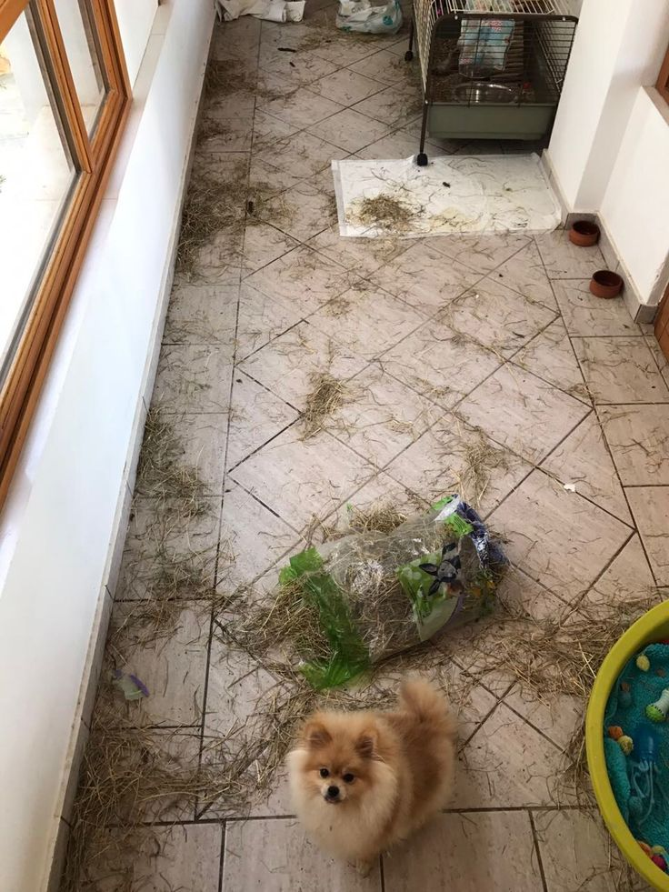Aren't u proud of me mommy? Look what I've done...all by myself..... Adorable naughty Pomeranians!!!
