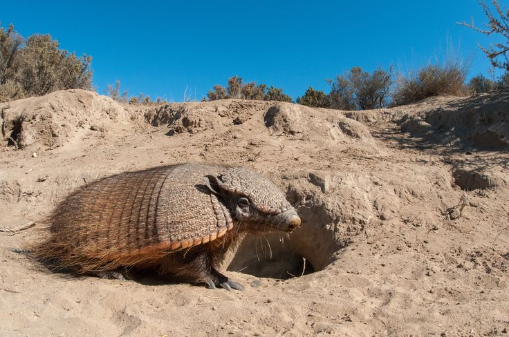 Patagonian Armadillo next to its burrow