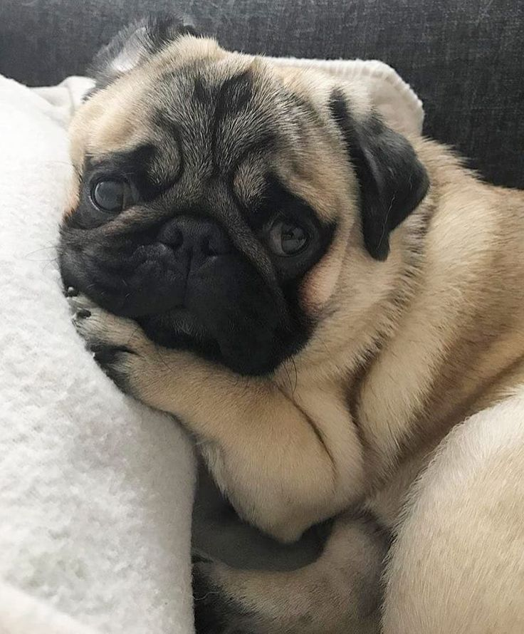Pin By Alexa Grey On Dogs Lover Baby Pugs Pugs Pug Puppies
