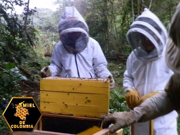 En Brasil las abejas africanizadas fueron siete veces más eficientes que las italianas en eliminar ácaros de sus cuerpos mediante su comportamiento de acicalamiento: 38.5% de las abejas africanizadas lograron quitarse los ácaros, en tanto que sólo 5.7% de las italianas usadas en su estudio pudieron eliminarlos. En otros estudios realizados en México, se encontró una relación entre bajos niveles de infestación de colonias con el ácaro Varroa y el comportamiento de acicalamiento de las…