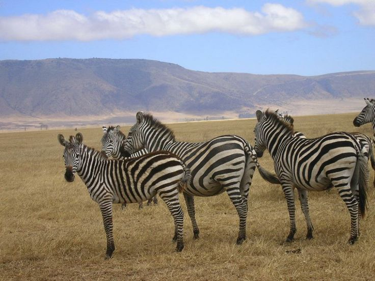 #zebra