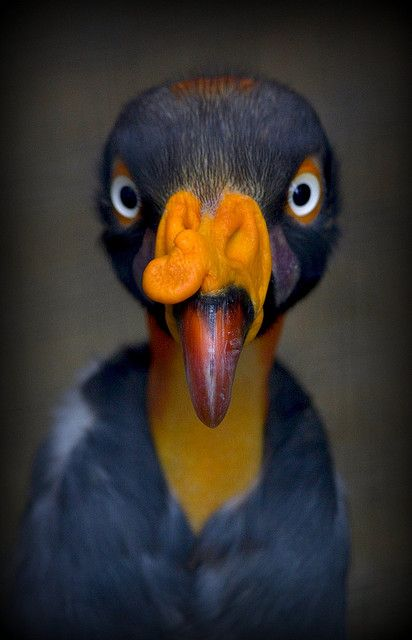 Tempted to use it for my profile picture. King Vulture at Shuttleworth Birds of Prey Centre