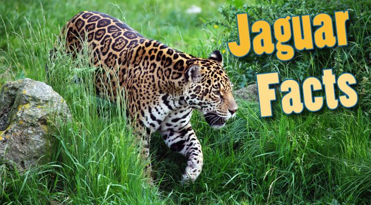 Facts about jaguars for kids & adults. Information on this beautiful but deadly rainforest predator. Where do they live, what they eat, pictures & video.