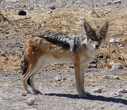 Goldschakal (Canis aureus)                                                                                                                                                                                 Mehr
