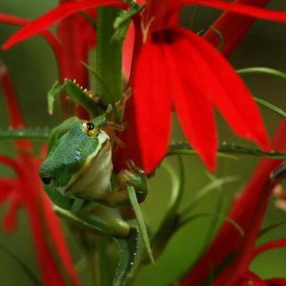Look for the little tree frog hiding in the cardinal flower. Amazing photo by Deb Campbell. You will LOVE the fawn photos she just took. Her page is at https://www.facebook.com/DebCampbellPhotographyShot handheld at f/8-1/125-ISO500-105mm  Shot with Sony a77 camera /Sigma 105 macro lens — with Barbara Williams Spears.