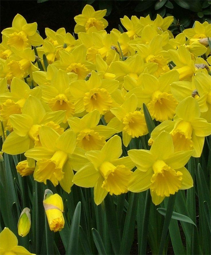 1402 best daffodils images on pinterest daffodils flower and cut narcissus marieke trumpet daffodils narcissi flower bulbs index mightylinksfo