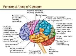 Image of cerebrum function