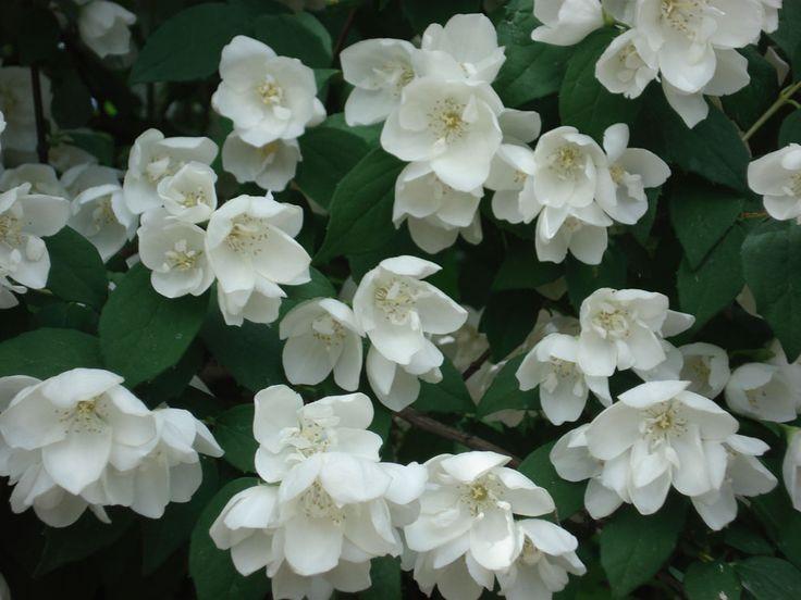 17 best images about giardino piante non velenose per for Giardino officinale