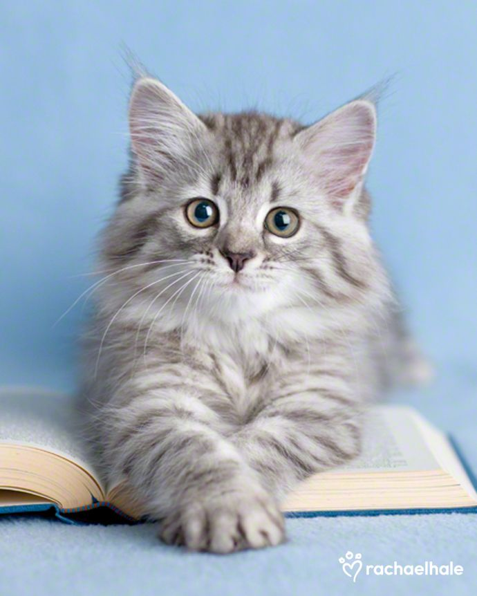 """""""Wedging itself between face and book,  the cat's expression seems to say, 'You really didn't really want to read that did you?'"""" --Author Unknown"""