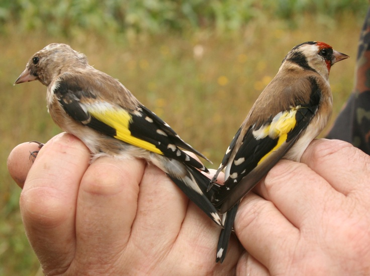 juvenile and adult
