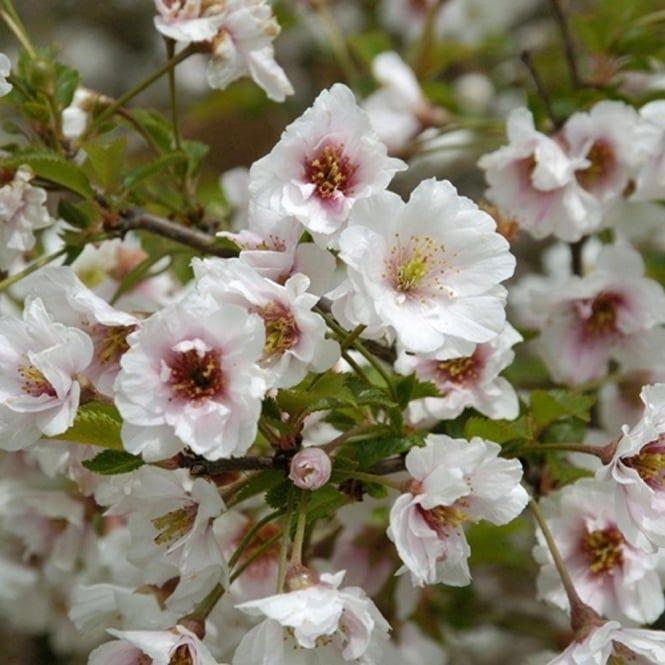 Prunus Hally Jolivette Tree Flowering Cherry Tree Cherry Tree Flowers