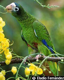 Endangered Specie of Puerto Rico Cotorra Puertorriqueña Puerto Rican Parrot Amazona vittata