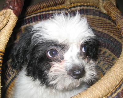 Joey is a Maltese terrier mix, but I`m not sure about his type. Anyway, my dog is grateful. He is joyful and lovely. He wants to play a lot.