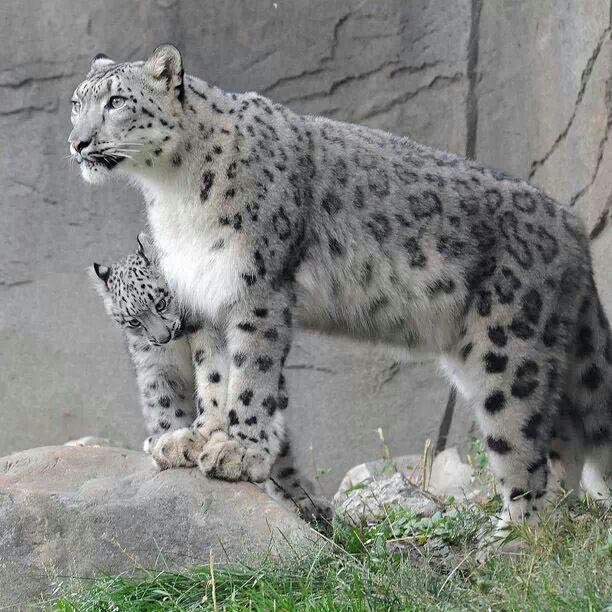 Mama & baby Snow Lepards