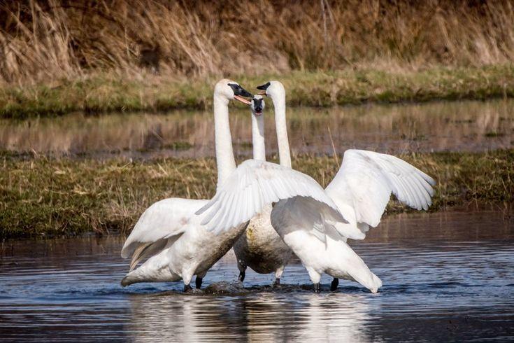 Okay, break it up you two! Trumpeter #swans in a dispute near Fir Island, #Washington. #birds #migration #winter