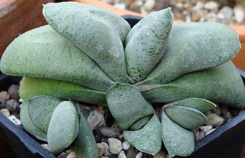 Succulent Plant Information: Gasteria glomerata