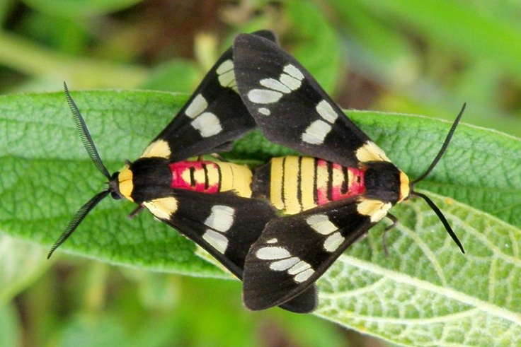 Eurata picta Moth, Insect collection, Insects