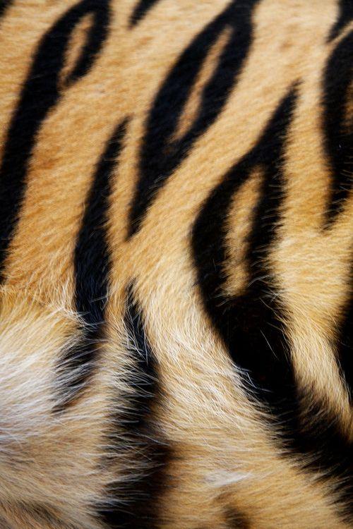 Tiger Stripes, Brow, Caramel Colored