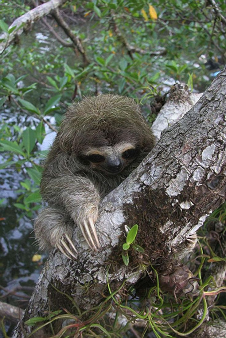 Sloth going to the bathroom - Miniature Three Toed Sloth This Is The Smallest And Most Endangered Of All