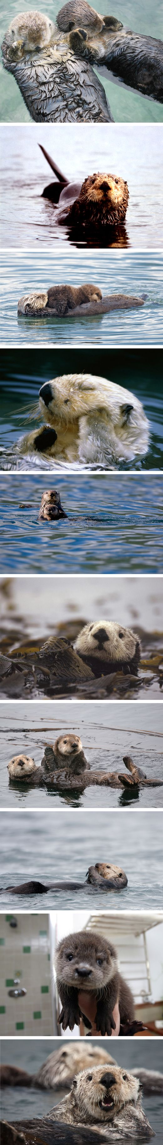 Sea otters.... perhaps the cutest animal alive!
