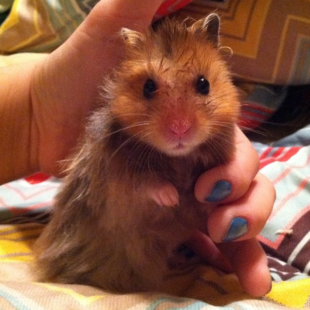 Hamster syrien #hamster