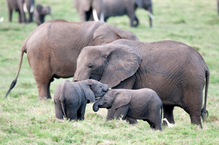 #Elephants are extremely social and gregarious, forming small family groups consisting of an older matriarch and several generations of relatives.  Photo credit: Billy Dodson: Elephants Families, Africans Elephants, Elephants Photo, Elephants Herding, Elephants Fellowship, Elephantsgentl Giant, Elegant Elephants, Ambo Elephants, Beautiful Elephants