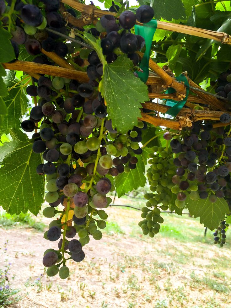 Grapes are starting to change which means harvest is right round the corner sutcliffe vineyards - Table grapes vs wine grapes ...