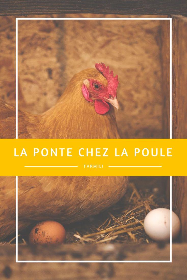 """---La ponte chez la poule pondeuse--- Chaque poule détient dès sa naissance un """"potentiel ponte"""" situé entre 2 et 3000 œufs, sous la forme d'ovules. Toutefois il est rare qu'une poule les ponde tous et notamment dans les élevages professionnels dans lesquels son espérance de vie est courte !"""