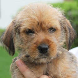 APRIL  Yorkshire Terrier Yorkie/Shih Tzu Mix: An adoptable dog in Huntley, IL
