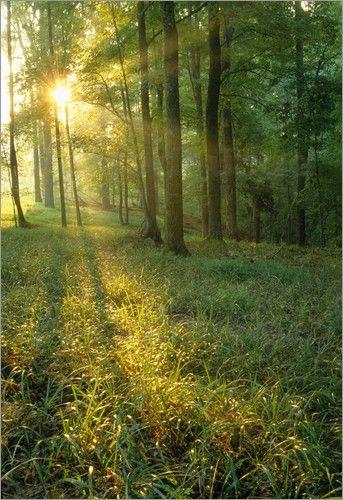 Sonnenaufgang durch Eichen- und Hickory-Wald Bilder: Poster von Raymond Klass bei Posterlounge.de