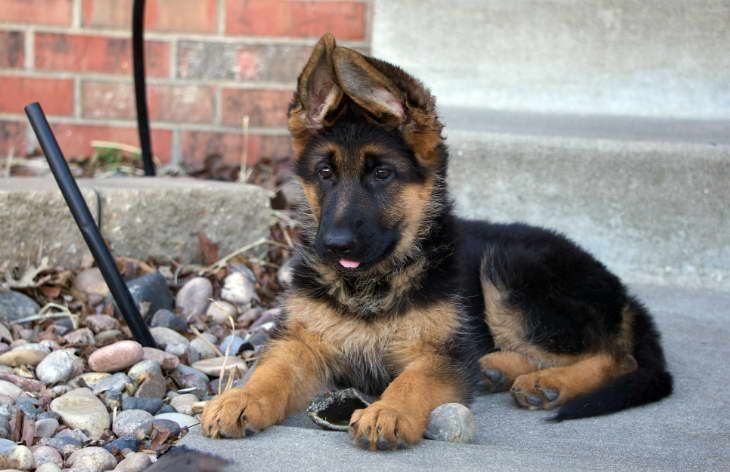 German Shepherd Puppies For Sale Near Me German Shepherd Puppies Shepherd Puppies German Shepherd