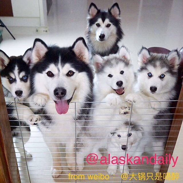 wow, they are so cute. love them sooooooo much.OMG. cute. follow @alaskandaily for more cute pic. from weibo :大锅只是喝醉 #alaskan#malamute#alaskanmalamute#alaskanhusky#malamutesofinstagram#puppylife#puppyluv#puppydog#puppylover#dogdays#malamutepuppy#malamutenotahusky#huskies#huskeypuppy#huskeiesreq#siberian#huskeiesofig#dogslife#dogsofnyc#cutedog#cutedogs#huskeylovers#cutedogs#dog#cute