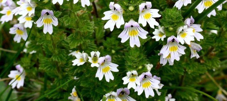 Tratamiento casero para el Orzuelo y la Conjuntivitis. La planta Eufrasia (o Hierba de los Miopes) se usa para aplicar un efectivo tratamiento casero para el orzuelo y la conjuntivitis.