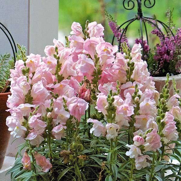 Die einjährigen Löwenmäulchen 'Rosella' (Antirrhinum majus) blühen mit vielen Blüten in rosa. Bis 60 cm für Beete und Kübel auf Terrasse und Balkon.