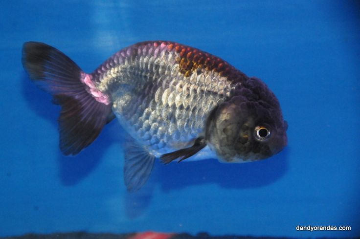 Blue ranchu goldfish for sale auction closed for price for Outdoor goldfish for sale