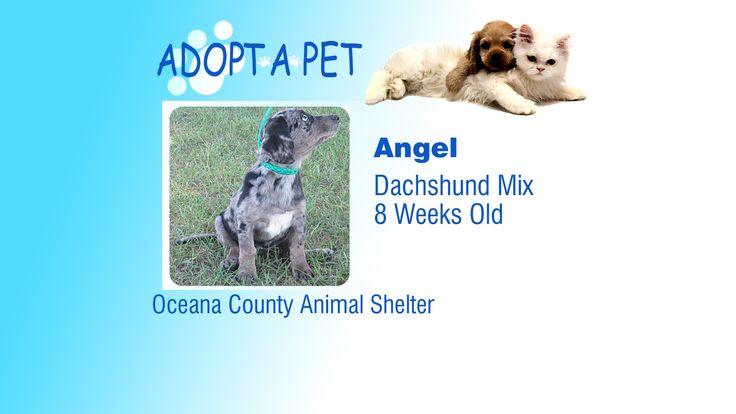 Adopt A Pet Tuesday Tina Natalie And Angel Pets Adoption Dachshund Mix