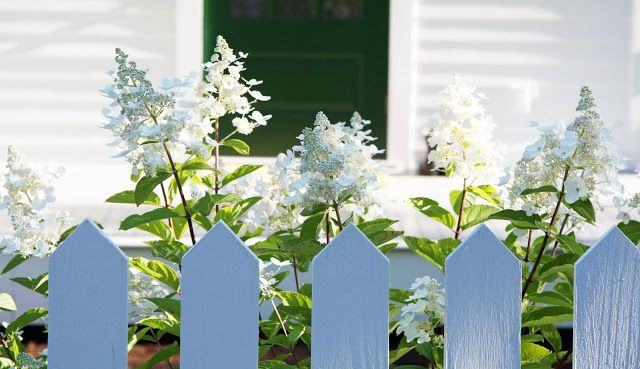 This Pee Gee hydrangea is in the front bed which receives a lot of sun throughout the day. Pee Gee is a sun tolerant variety so I planted several of them. (I like on south side of porch.