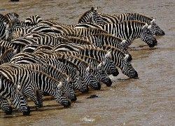 Zebry, Wodopój, Kenia