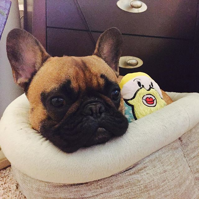 """""""This is Me, Hangin' w my Carla the bearded Lady toy"""", French Bulldog Puppy"""