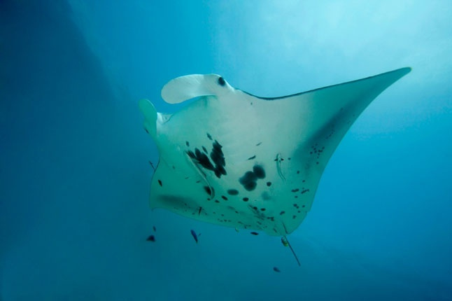 Azores - Original Diving is offering divers the chance to cut their air miles to tropical islands like the Maldives and experience manta rays and other exotic sea life closer to home.