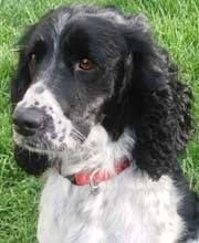 this is BOO our new little girl...18 mos. adopted OF COURSE FROM THE English Springer Spaniel Rescue Association....