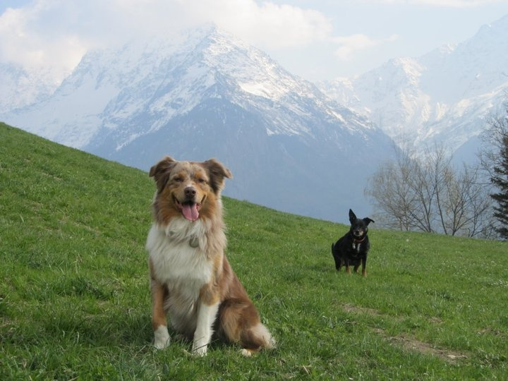 An Aussie and an Australian Kelpie in the Swiss Alps
