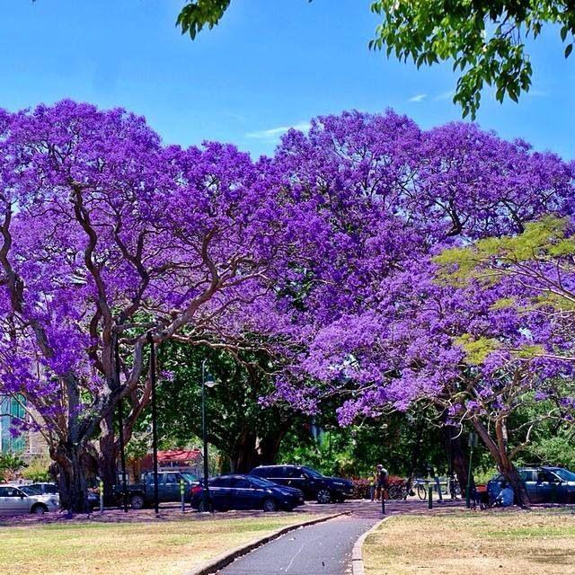 Jacaranda trees at New Farm Park Brisbane.