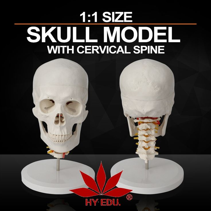 45.00$  Watch here - http://ali8s1.shopchina.info/1/go.php?t=585319289 - Medical Anatomy Biological Functional life Size Skull model  with Cervical Spine  #shopstyle