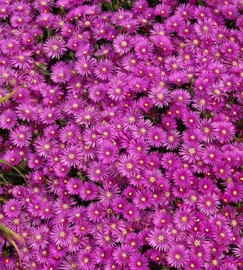 "Delosperma cooperi (Cooper's Hardy Ice Plant) -Zone: 5-9,  Height: 3"",  Culture: Sun,  Origin: S. Africa"