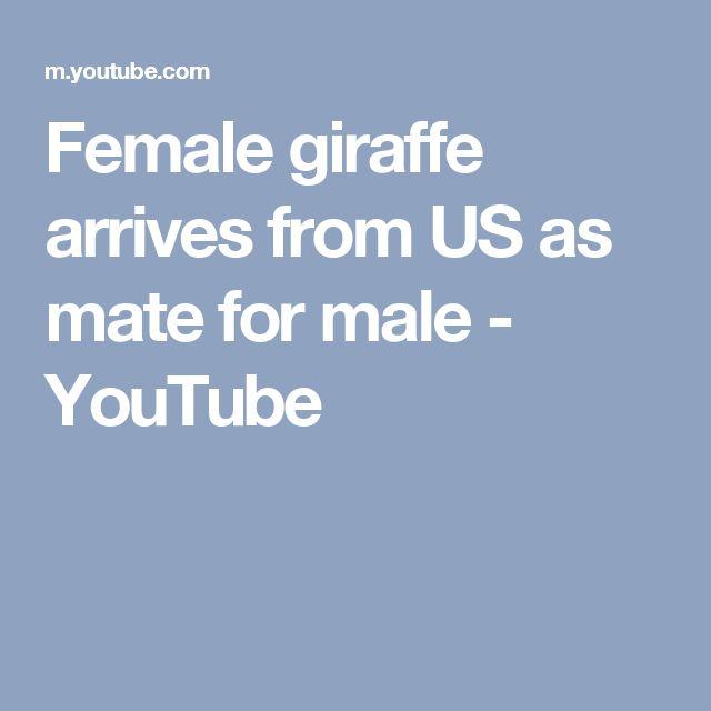 Female giraffe arrives from US as mate for male - YouTube