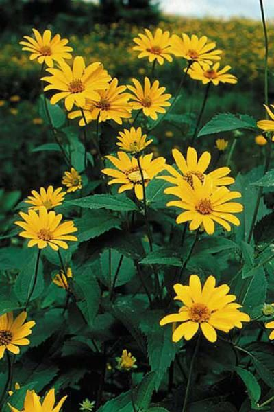 Ox Eye Sunflower (Heliopsis helianthoides)